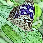 old-time-banded-purplewing-bflyh-dsc09774