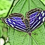old-time-banded-purplewing-bflyh-dsc09780