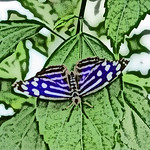 old-time-banded-purplewing-bflyh-dsc09784