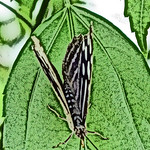 old-time-banded-purplewing-bflyh-dsc09777