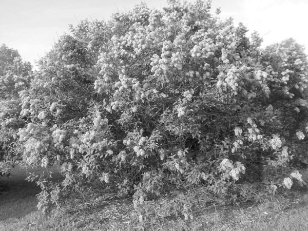 Black and White Lilac Photos