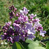 wonderblue-DSC03702 Lilac photos by Deborah Carney
