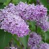 Sensation Lilacs - My favorite lilacs. Image #DSC08890