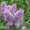 Sensation Lilacs - My favorite lilacs. Image #DSC08891