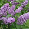 Sensation Lilacs - My favorite lilacs. Image #DSC08889