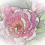 old-time-rose-maplewood-0103