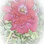 old-time-rose-maplewood-0008