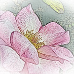 old-time-rose-maplewood-0101