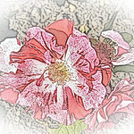 old-time-rose-maplewood-0050