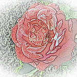 old-time-rose-maplewood-0091