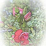 old-time-rose-maplewood-0007