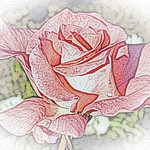 old-time-rose-maplewood-0094