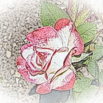old-time-rose-maplewood-0048