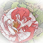 old-time-rose-maplewood-0040