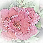 old-time-rose-maplewood-0015