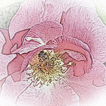 old-time-rose-maplewood-0038