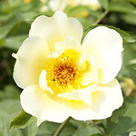 goldenwings-shrub-rose-nybg-vo_0004