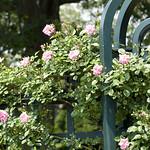 Climbing-Pinkie-Rose-0008-nybg-lox