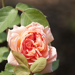 carding-mill-shrub-rose-nybg-lox_0006