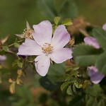 Altaica-Rose-0002-nybg-lox