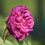 Charles-de-Mills-Rose-0002-nybg-lox