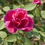 Barn-Dance-Rose-0002-nybg-lox