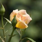 Dr-Eckener-Rose-0009-nybg-lox