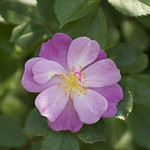 Lavender-Dream-Rose-0002-nybg-lox