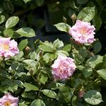 Climbing-Pinkie-Rose-0004-nybg-lox