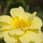 Harrison-s-Yellow-Rose-0004-nybg-lox