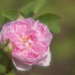 De Meaux-Rose-0004-nybg-lox