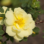 Harrison-s-Yellow-Rose-0002-nybg-lox