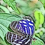 old-time-banded-purplewing-bflyh-dsc09772