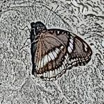 old-time-bfly-stlz-dsc09304