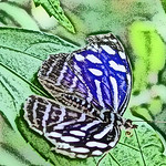 old-time-banded-purplewing-bflyh-dsc09773