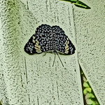 old-time-blue cracker-bflyh-dsc09890