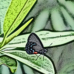 old-time-asian-atala-hairstreak-stlz-dsc09355