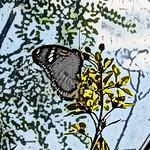 old-time-bfly-stlz-dsc09292