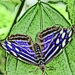 old-time-banded-purplewing-bflyh-dsc09778