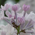 Lilac photographed at Highland Park in Rochester NY during their annual Lilac Festival. The name of the lilac in the image is in the Keywords.  Also you can purchase our Lilacs A - Z books f ...