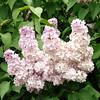 wm-c-barry-DSC04290 Lilac photos by Deborah Carney