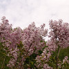 oblata-DSC03063 Lilac photos by Deborah Carney