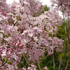 oblata-DSC03057 Lilac photos by Deborah Carney