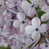 oblata-DSC01275 Lilac photos by Deborah Carney