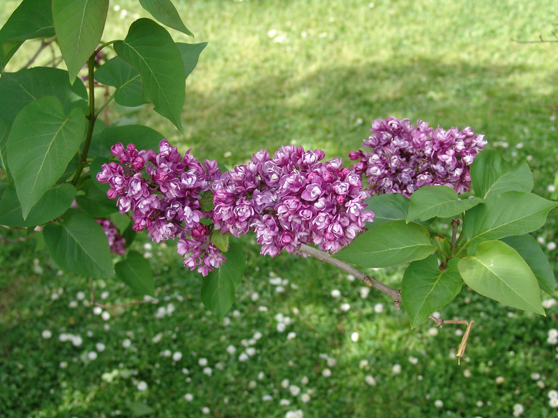 ostrander-DSC03831 Lilac photos by Deborah Carney
