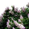 wm-c-barry-DSC04299 Lilac photos by Deborah Carney