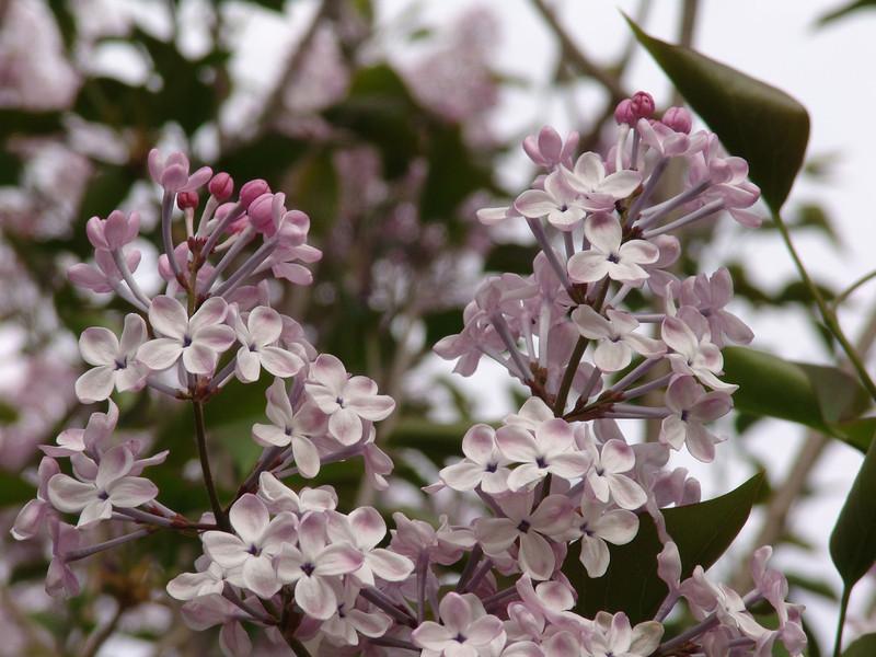 oblata-DSC03045 Lilac photos by Deborah Carney