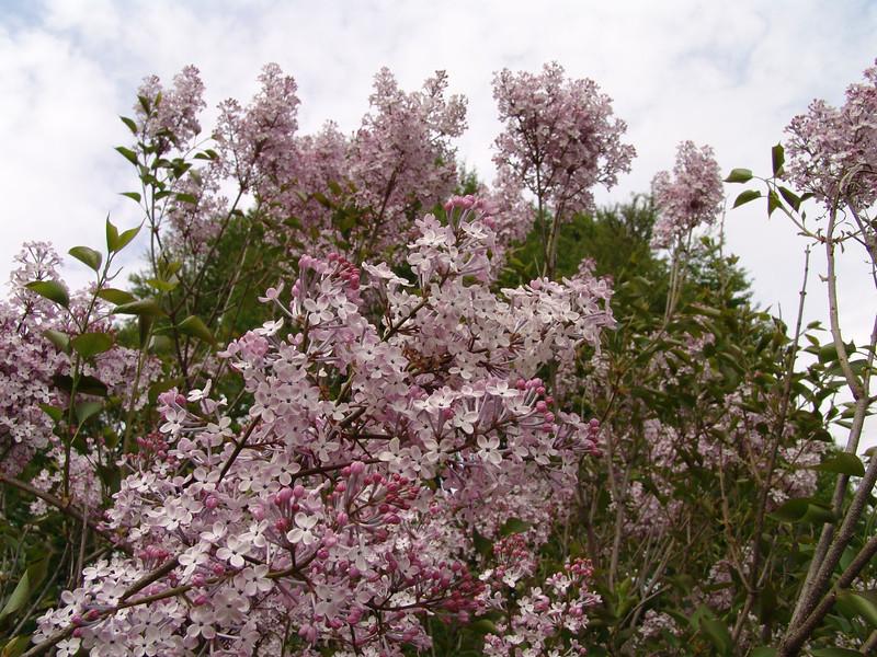 oblata-DSC03062 Lilac photos by Deborah Carney