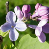 wonderblue-DSC01508 Lilac photos by Deborah Carney
