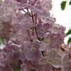 wm-c-barry-DSC04281 Lilac photos by Deborah Carney